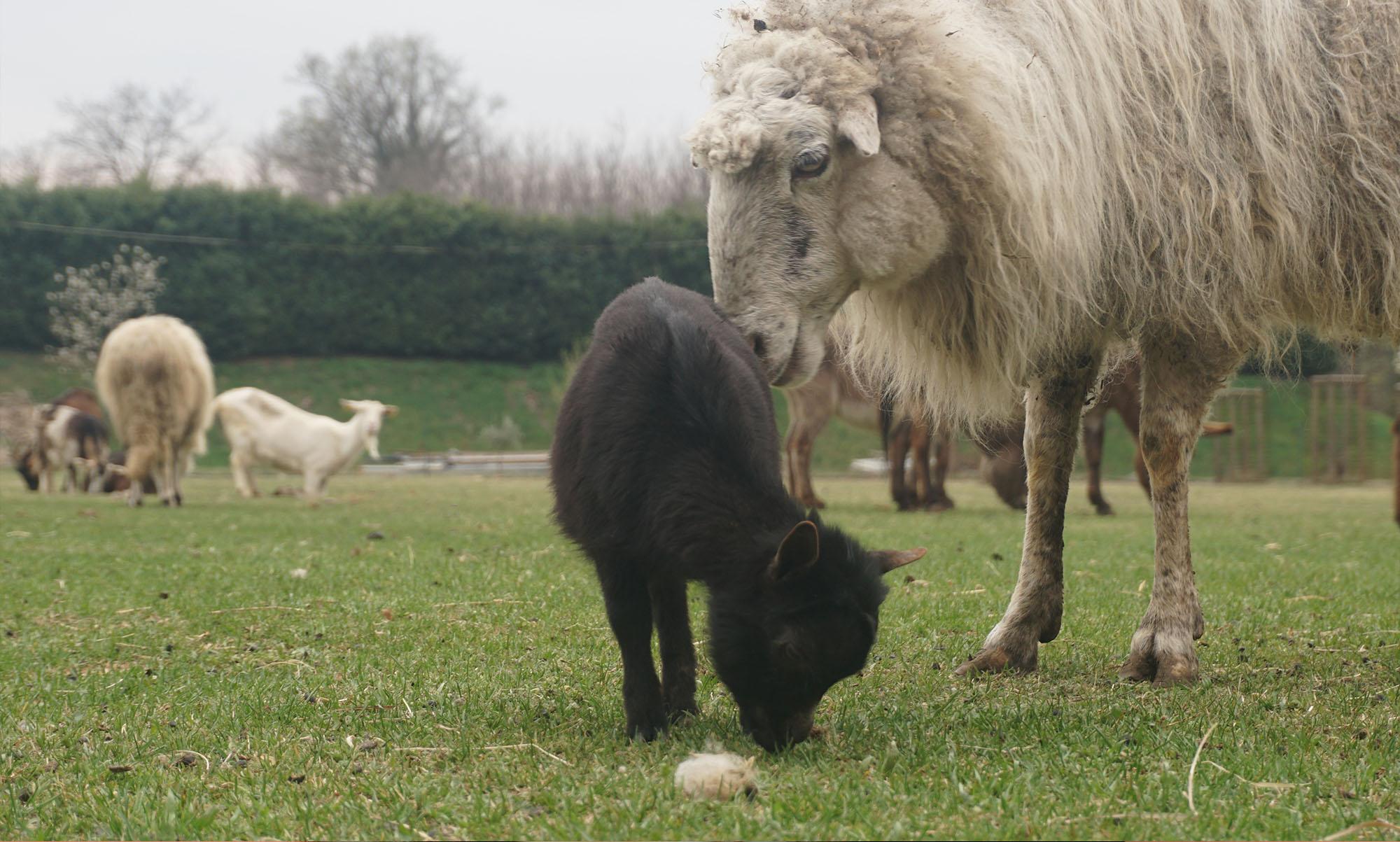 La mattanza degli agnelli
